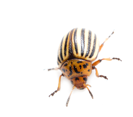 Colorado potato beetle on a white  photo