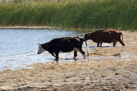 cow walking on the water in the lake Stock Photo - 22855909