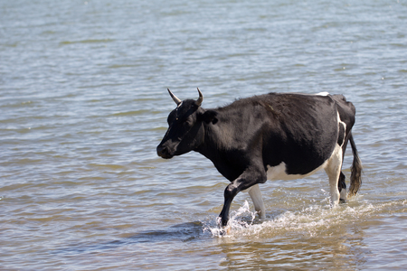 cow walking on the water in the lake Stock Photo - 22856129
