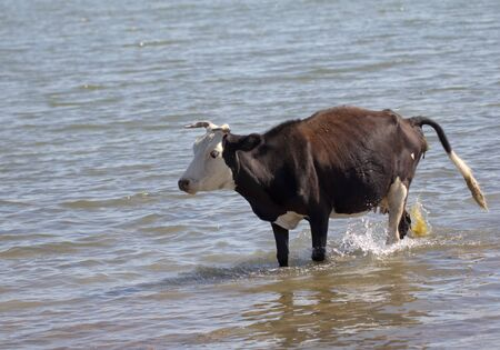 cow walking on the water in the lake Stock Photo - 22856133