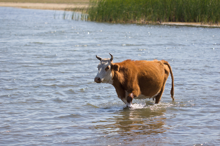 cow walking on the water in the lake Stock Photo - 22856140