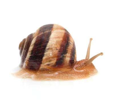 slithery: snail on a white background. macro