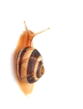 gastropod: snail on a white background. macro