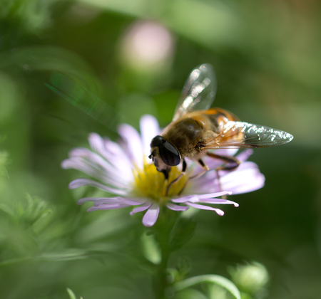 bee on a flower in nature Stock Photo