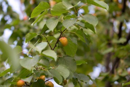 Ripe apricots in nature photo