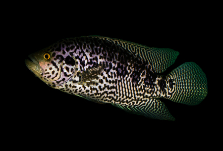 fish on a black background photo