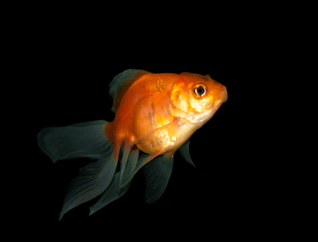 jelly head: goldfish on black background background Stock Photo