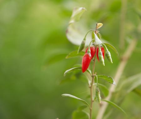 bush pepper: red chili pepper on the bush in nature Stock Photo