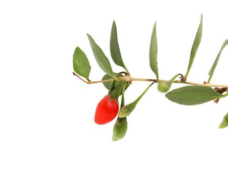 bush pepper: red chili pepper on the bush on a white background