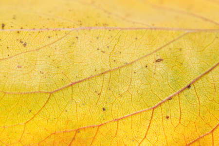 background of yellow leaves. macro photo