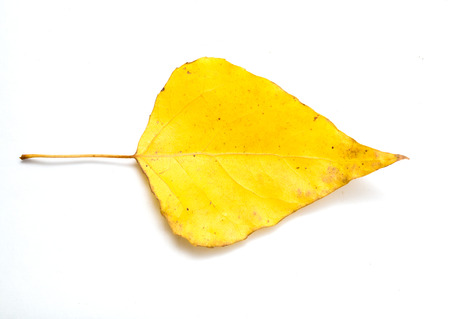 wizen: yellow leaf on a white background