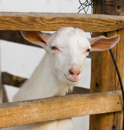 portrait of a white goat photo