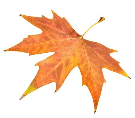 Risultati immagini per foglia d'autunno sfondo bianco