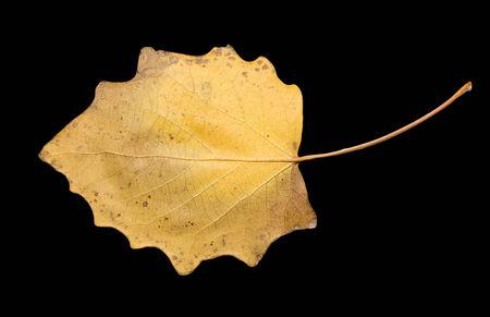autumn leaf on a black background Stock Photo - 24103615