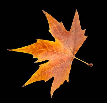 autumn leaf on a black background Stock Photo - 24103620