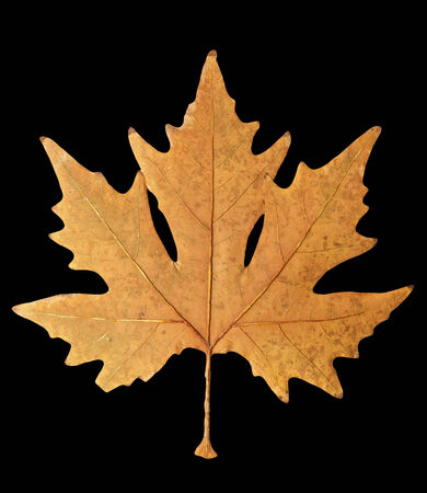 autumn leaf on a black background Stock Photo - 24103640