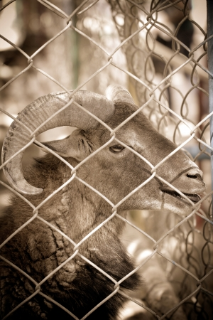 goat in captivity photo