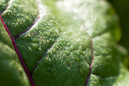 green vegetables: beet leaves in nature Stock Photo