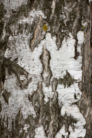 bark: background from birch bark Stock Photo