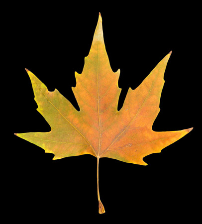 autumn leaf on a black background Stock Photo - 24309660
