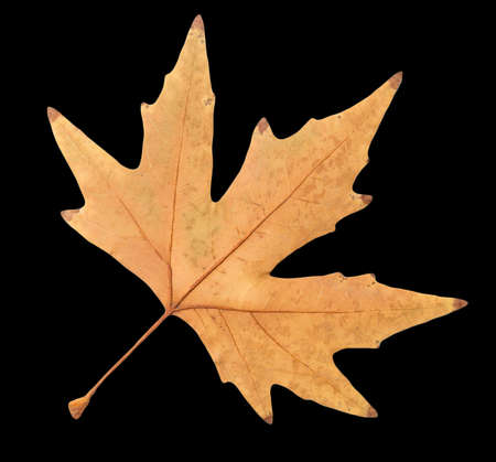 autumn leaf on a black background Stock Photo - 24771975