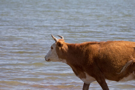 cow walking on the water in the lake Stock Photo - 25200029