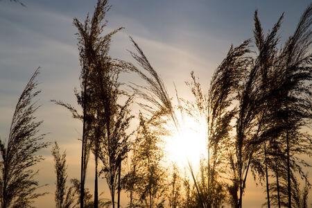 caulis: bulrush on background sunset in winter