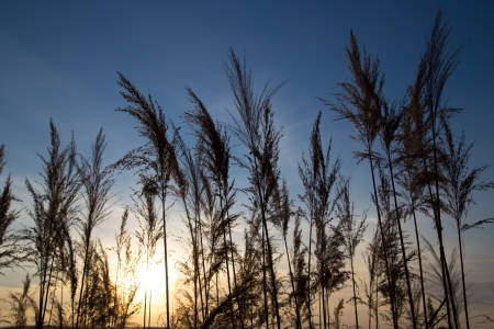 bulrush on background sunset in winter photo