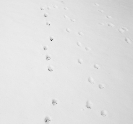 cat footprints in the snow photo