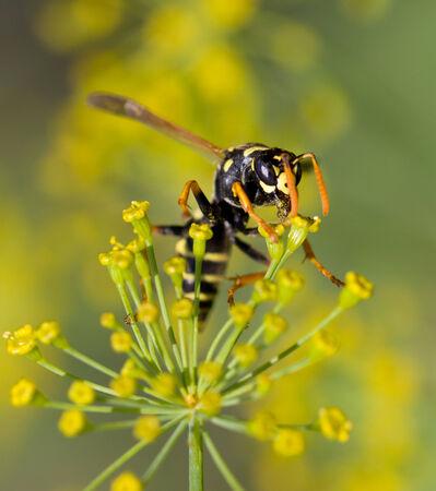 stamen wasp: wasp on a flower. macro