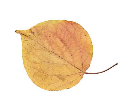 autumn leaf on a white background Stock Photo