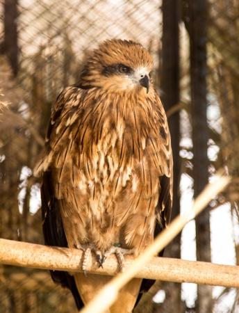 milvus: hawk in the park outdoors Stock Photo