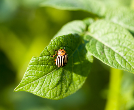 Colorado beetle on potato leaves photo