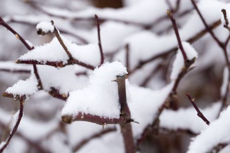 Snow on the branches of a tree. macro photo