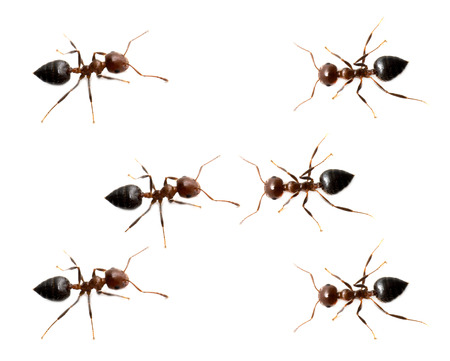 unity small flower: military detachment of ants on a white background. macro