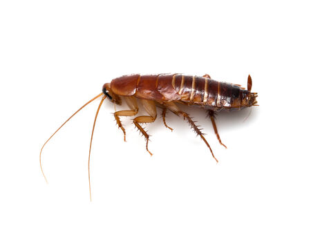 madagascar hissing cockroach: redhead cockroach on white background. macro