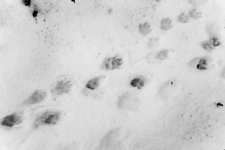 dog footprints on white snow photo