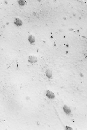 huellas de perro: huellas de perro en la nieve blanca