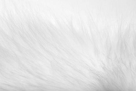 silver fox: background of white fur