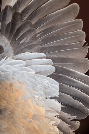 Background from feathers of a dove photo