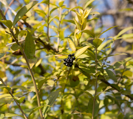Deep blue and glossy berries on a shrub of the Wild Privet, Ligustrum vulgare, in autumn photo