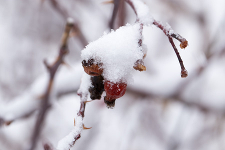 Briar in the snow. macro photo