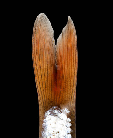 accosting: fish tail on a black background