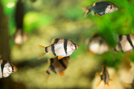 fish in the aquarium Stock Photo - 27193747