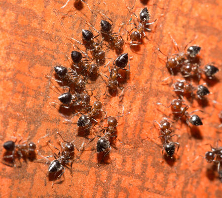 ants on a wooden background. macro photo