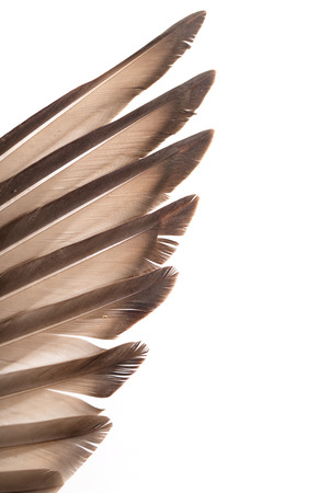 feathered: feathers on the wings of a wild duck