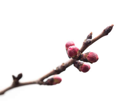 apricot flower buds. Macro photo