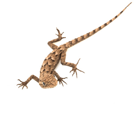 lacerta: lizard on a white background. Macro Stock Photo