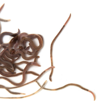 wigglers: Worms on a white background. Macro