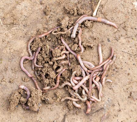earthworms: earthworms on soil. macro